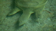 Stock Video Footage of Chinese Soft-Shell Turtle swims below water's surface (High Definition)