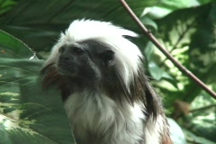 Cotton Topped Tamarin  Stock Footage