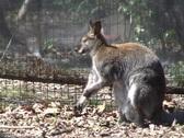 Kangaroo scratch  Stock Footage