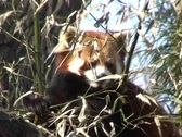 Red Panda eating bamboo leaves Stock Footage