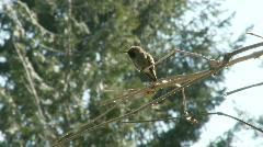 Hummingbird mating dance - stock footage