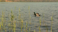 Mallards and reed - stock footage