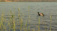 Mallards and reed Stock Footage