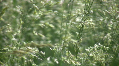 Field of green grass gently sways in wind (High Definition) Stock Footage