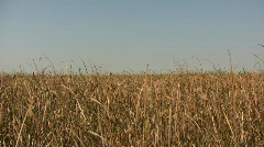 Dry tallgrass sways in wind on sunny day (High Definition) Stock Footage
