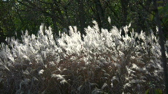 Silver Feather Grass is backlit by sunlight (High Definition) Stock Footage