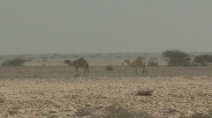 Camels in the Wild 1 - stock footage