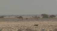 Stock Video Footage of Camels in the Wild 1