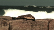 Sea Lion with giant surf in the background Stock Footage