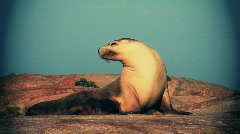 Sealion family with vignette Stock Footage
