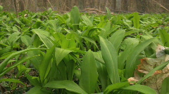 Rare forest onion  (Allium ursinum) Stock Footage