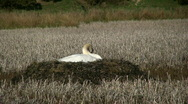 Stock Video Footage of A swan on a large nest.