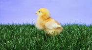 Stock Video Footage of Baby Chick Chirping