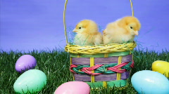 Easter Basket with Baby Chicks and Plastic Eggs Stock Footage