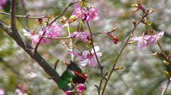 Colorful tropical butterfly and cherry blossoms Stock Footage