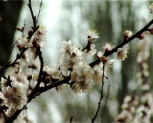 Blossom apricot Stock Footage