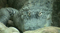 American alligator lazily rests amidst some rocks (High Definition) Stock Footage