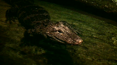 Baby alligator wades in a pool near log Stock Footage