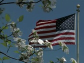 Stock Video Footage of American Flag flying behind spring dogwood blossoms