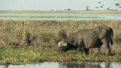 Buffalo eating Stock Footage