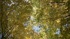 Autumn leaves gently sway in the sunlight (High Definition) Stock Footage