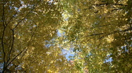 Stock Video Footage of Autumn leaves gently sway in the sunlight (High Definition)