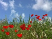 Poppy flowers Stock Footage