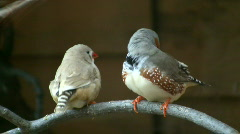 Excited Zebra Finch birds are perched on branch (High Definition) Stock Footage