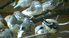 Community of Zebra Finches are grooming themselves (High Definition) Stock Footage