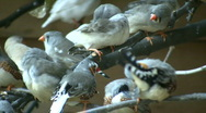 Stock Video Footage of Community of Zebra Finches are grooming themselves (High Definition)