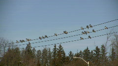 Birds Sitting on a Wire 3 (High Definition) Stock Footage
