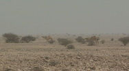 Stock Video Footage of Camels in the Wild 3