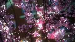 Tree Blooming 457 Stock Footage