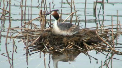 Great crested grebe on floating nest Stock Footage