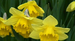 Narcissus (Carlton) blossoms 2 Stock Footage