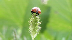 Ladybird takes off from grass. Stock Footage