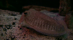 Cuttlefish is resting at the bottom of the tank - stock footage