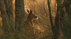 Kangaroo in the bush - stock footage