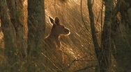 Stock Video Footage of Kangaroo in the bush