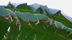 Banana tree leaves in the wind Stock Footage