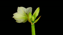 Time-lapse opening white amaryllis bud against black background 10 Stock Footage