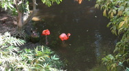 Stock Video Footage of Two flamingos in the water