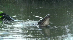 Alligator Mating Call - stock footage