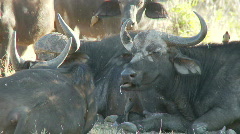 Buffalo at rest Stock Footage