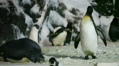 Young Emperor Penguin Preening His Feathers Stock Footage