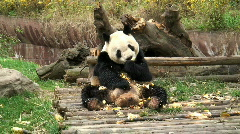 Giant panda - stock footage
