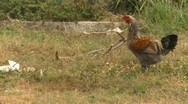Rooster, chicken, #2 Stock Footage
