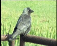32 crow Stock Footage