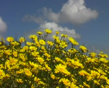 Yellow springflowers portugal 1 Stock Footage