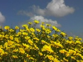 Stock Video Footage of yellow springflowers portugal 1